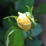 a-yellow-rose-1468704