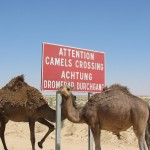 attention-camels-crossing-1538487